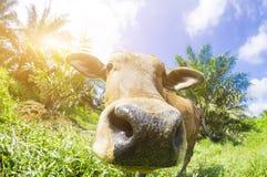 Στενός ένας επάνω μιας τοπικής αγελάδας ` s σε Pahang, Μαλαισία Στοκ φωτογραφίες με δικαίωμα ελεύθερης χρήσης