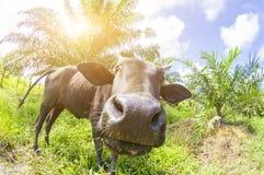 Στενός ένας επάνω μιας τοπικής αγελάδας ` s σε Pahang, Μαλαισία Στοκ εικόνα με δικαίωμα ελεύθερης χρήσης
