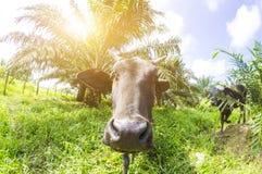 Στενός ένας επάνω μιας τοπικής αγελάδας ` s σε Pahang, Μαλαισία Στοκ Εικόνες