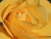 στενός αυξήθηκε επάνω σε κίτρινο Στοκ φωτογραφίες με δικαίωμα ελεύθερης χρήσης