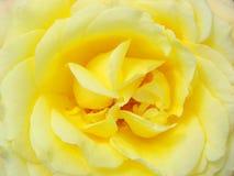 στενός αυξήθηκε επάνω σε κίτρινο Στοκ Φωτογραφίες