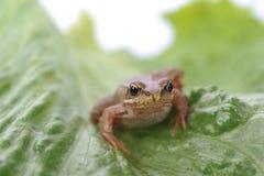 στενός βάτραχος μικρός επά&n Στοκ Φωτογραφίες