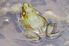 στενός βάτραχος 2 ταύρων επάνω στο ύδωρ Στοκ φωτογραφίες με δικαίωμα ελεύθερης χρήσης