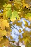 στενός βγάζει φύλλα το σφέ& Στοκ εικόνες με δικαίωμα ελεύθερης χρήσης