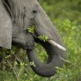 στενός ελέφαντας το επικεφαλής s επάνω Στοκ Φωτογραφία
