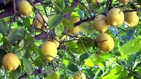Στενός επάνω δέντρων λεμονιών απόθεμα βίντεο