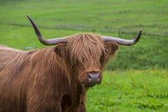 Στενός επάνω αγελάδων ορεινών περιοχών Στοκ Φωτογραφίες