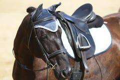 Στενός επάνω αθλητικών αλόγων κάτω από την παλαιά σέλα δέρματος στη εκπαίδευση αλόγου σε περιστροφές compet στοκ φωτογραφία