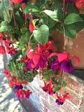 Στενός επάνω ανθών του κόκκινου πορφυρού φούξια λουλουδιού στο βοτανικό κήπο Στοκ Εικόνες