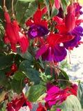 Στενός επάνω ανθών του κόκκινου πορφυρού φούξια λουλουδιού στο βοτανικό κήπο Στοκ Εικόνα