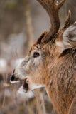 Στενός επάνω αποτελμάτωσης πτώσης Buck ελαφιών Whitetail Στοκ φωτογραφία με δικαίωμα ελεύθερης χρήσης