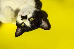 στενός επάνω γατών αστείο απομονωμένο πορτρέτο χαρακτηρών κινουμένων σχεδίων ζώων Στοκ Εικόνες