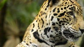 Στενός επάνω γατών ιαγουάρων φιλμ μικρού μήκους