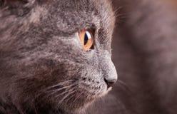 Στενός επάνω γατών πορτρέτου Στοκ Εικόνες