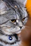 στενός επάνω γατών Στοκ Φωτογραφίες