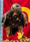 Στενός επάνω γερακιών του προσώπου στην Ισπανία Στοκ φωτογραφία με δικαίωμα ελεύθερης χρήσης