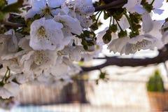 Στενός επάνω δέντρων κερασιών στοκ φωτογραφία με δικαίωμα ελεύθερης χρήσης