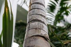 Στενός επάνω κορμών δέντρων του caribian φοίνικα βασιλιάδων arecaceae regia roystonea Στοκ Φωτογραφίες