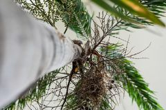 Στενός επάνω κορμών δέντρων του caribian φοίνικα βασιλιάδων arecaceae regia roystonea Στοκ εικόνα με δικαίωμα ελεύθερης χρήσης