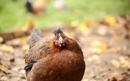 στενός επάνω κοτόπουλο&upsilon Στοκ Φωτογραφίες