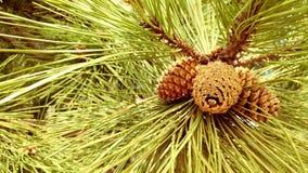 Στενός επάνω κώνων πεύκων σε ένα δέντρο πεύκων Στοκ Φωτογραφίες