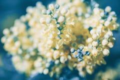 Στενός επάνω λουλουδιών aquifolium Mahonia Στοκ φωτογραφία με δικαίωμα ελεύθερης χρήσης