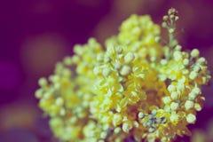 Στενός επάνω λουλουδιών aquifolium Mahonia Στοκ εικόνες με δικαίωμα ελεύθερης χρήσης