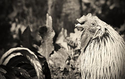 Στενός επάνω μονοχρωματικός κοκκόρων, ζωικός κόκκορας πουλιών φύσης στοκ εικόνα