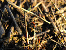 Στενός επάνω μυρμηγκιών Μακροεντολή Στοκ εικόνα με δικαίωμα ελεύθερης χρήσης