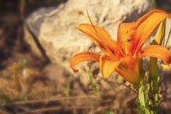 Στενός επάνω λουλουδιών κρίνων Στοκ Εικόνες