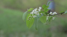 Στενός επάνω λουλουδιών πουλί-κερασιών φιλμ μικρού μήκους