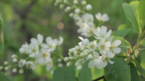 Στενός επάνω λουλουδιών πουλί-κερασιών απόθεμα βίντεο