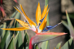 Στενός επάνω λουλουδιών πουλιών του παραδείσου Στοκ εικόνες με δικαίωμα ελεύθερης χρήσης