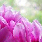 Στενός επάνω λουλουδιών Cyclamen ρόδινος Στοκ φωτογραφία με δικαίωμα ελεύθερης χρήσης