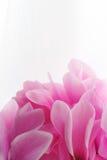 Στενός επάνω λουλουδιών Cyclamen ρόδινος Στοκ Φωτογραφίες