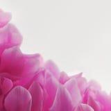 Στενός επάνω λουλουδιών Cyclamen ρόδινος Στοκ φωτογραφίες με δικαίωμα ελεύθερης χρήσης