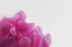 Στενός επάνω λουλουδιών Cyclamen ρόδινος Στοκ Εικόνες