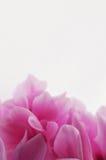 Στενός επάνω λουλουδιών Cyclamen ρόδινος Στοκ εικόνα με δικαίωμα ελεύθερης χρήσης