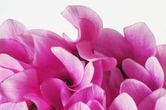 Στενός επάνω λουλουδιών Cyclamen ρόδινος Στοκ Φωτογραφία