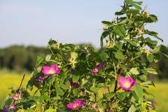 Στενός επάνω λουλουδιών Dogrose, φύση Στοκ Φωτογραφία