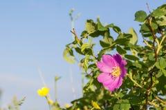 Στενός επάνω λουλουδιών Dogrose, φύση Στοκ φωτογραφία με δικαίωμα ελεύθερης χρήσης