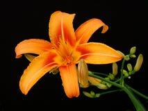 Στενός επάνω λουλουδιών Llily Στοκ Εικόνες