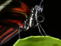 στενός επάνω πεταλούδων Στοκ Φωτογραφία