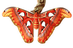 στενός επάνω πεταλούδων attacus Στοκ Εικόνες
