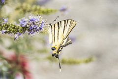 Στενός επάνω πεταλούδων στο λουλούδι Στοκ Φωτογραφία