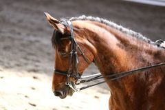 Στενός επάνω πορτρέτου του αθλητικού αλόγου εκπαίδευσης αλόγου σε περιστροφές με τον άγνωστο αναβάτη Στοκ εικόνες με δικαίωμα ελεύθερης χρήσης