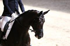 Στενός επάνω πορτρέτου του αθλητικού αλόγου εκπαίδευσης αλόγου σε περιστροφές με τον άγνωστο αναβάτη Στοκ Εικόνες