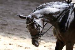 Στενός επάνω πορτρέτου του αθλητικού αλόγου εκπαίδευσης αλόγου σε περιστροφές με τον άγνωστο αναβάτη Στοκ Φωτογραφίες