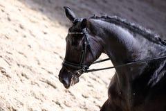 Στενός επάνω πορτρέτου του αθλητικού αλόγου εκπαίδευσης αλόγου σε περιστροφές με τον άγνωστο αναβάτη Στοκ Εικόνα