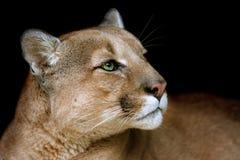 Στενός επάνω πορτρέτου Puma Στοκ Φωτογραφία